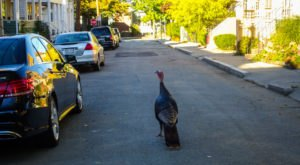 Turkeys Are Taking Over A Major Massachusetts City And Nobody Knows What To Do