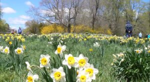 A Trip To Connecticut's Neverending Daffodil Field Will Make Your Spring Complete