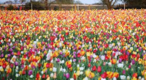 A Trip To Virginia's Neverending Tulip Field Will Make Your Spring Complete