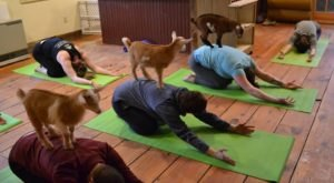 You Can Do Yoga With Goats On This New Hampshire Farm