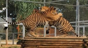 DO NOT PUBLISH – Not Many Know About This Exotic Animal Sanctuary Right Here In Oklahoma