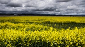 A Trip To Idaho's Neverending Canola Fields Will Make Your Spring Complete