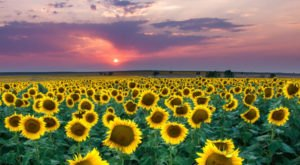 Most People Don't Know About This Magical Sunflower Field Hiding In Colorado