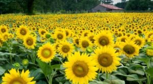 Most People Don't Know About This Magical Sunflower Field Hiding In Georgia