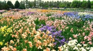 A Trip To Nebraska's Neverending Iris Field Will Make Your Spring Complete
