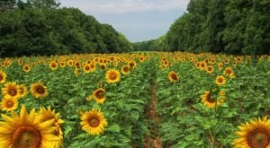 There's A Magical Sunflower Field Tucked Away In Beautiful Maryland