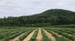 15 Sweet Spots To Pick Your Own Strawberries In Vermont This Summer