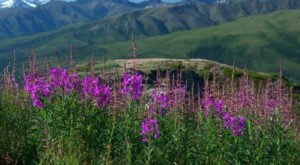 It's Impossible Not To Love This Breathtaking Wild Flower Trail In Alaska