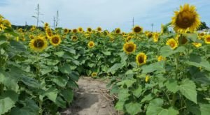 Most People Don't Know About This Magical Sunflower Field Hiding In Indiana