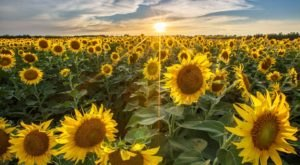 Most People Don't Know About This Magical Sunflower Field Hiding In Missouri