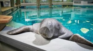 The World's Oldest Manatee Is Dead After A Tragic Accident At The South Florida Museum