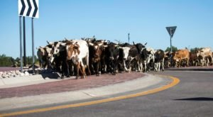 Only In Wyoming Could Your Morning Commute Be Delayed By An Epic Cattle Drive