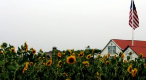 Most People Don't Know About This Magical Sunflower Field Hiding In New York
