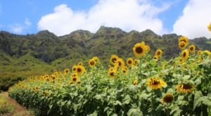 Most People Don't Know About This Magical Sunflower Field Hiding In Hawaii