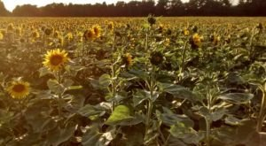 Most People Don't Know About This Magical Sunflower Field Hiding In Buffalo