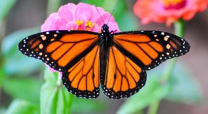 Get Ready For One Of The Most Massive Monarch Butterfly Migrations We've Ever Seen In Texas