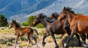 The Breathtaking Area In Nevada Where You Can Watch Wild Horses Roam