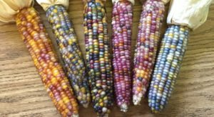 Everyone Is Going Nuts For This Rare Rainbow Corn That's Straight Out Of Oklahoma