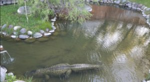 Yes, Alligators Live In This Idaho Hot Spring And It's Kind Of Terrifying