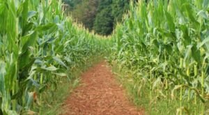 Get Lost In These 7 Awesome Corn Mazes Around Charlotte This Fall
