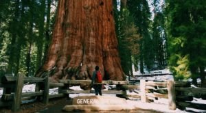 The Largest Known Living Tree In The World Is Right Here In Northern California
