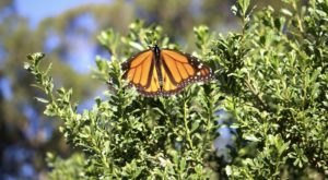 See Thousands Of Monarch Butterflies At This Northern California Grove