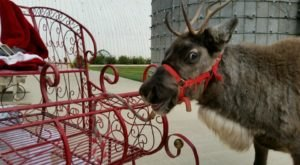This Reindeer Farm In Kansas Will Positively Enchant You This Season