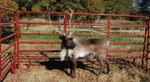 This Reindeer Farm In Georgia Will Positively Enchant You This Season