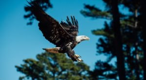 Here Are 8 Fantastic Spots To Spot Bald Eagles In Arkansas