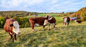 Here's Why Most People Think Vermont Has More Cows Than People