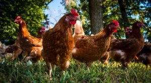 You Could Get Paid To Raise Chickens In This One City In Texas