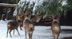 This Reindeer Farm In Oregon Will Positively Enchant You This Season