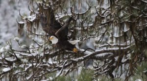 7 Majestic Spots To Watch Bald Eagles This Winter In Idaho