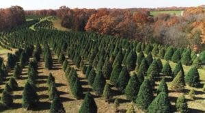 The One Place In Missouri Where Christmas Trees Go To Die