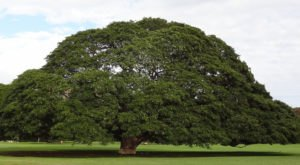 The One Tree In Hawaii That's Worth Nearly Half A Million Dollars
