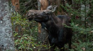 The 6 Best Places To Spot Majestic Moose In New Hampshire