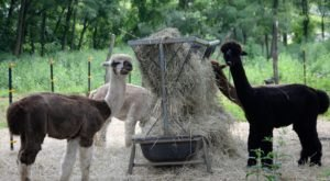 The Amazing Bed And Breakfast In New Jersey Where You Can Hang Out With Alpacas