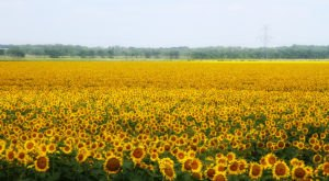 Most People Don't Know About This Magical Sunflower Field Hiding In Texas