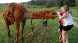 The Amazing Bed And Breakfast In Tennessee Where You Can Hang Out With Camels