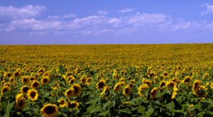 Most People Don't Know About These Magical Sunflower Fields Hiding In North Dakota