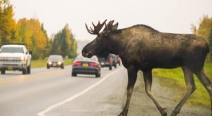 Only In Alaska Does Recycled Roadkill Gets Turned Into A Finger-Licking Good Meal