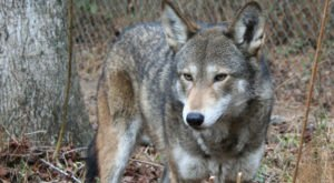 The One Of A Kind Wolf Safari You Simply Must Take In North Carolina