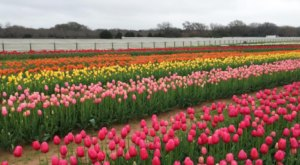 Thousands Of Tulips Are Blooming At This One Field In Texas… And You'll Want To Visit