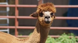 There's An Alpaca Farm In Missouri And You're Going To Love It