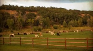 There's An Alpaca Farm In Utah And You're Going To Love It
