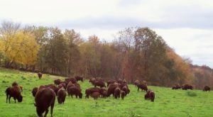 There's A Bison Farm In Connecticut And You're Going To Love It