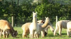 There's An Alpaca Farm In Pennsylvania And You're Going To Love It