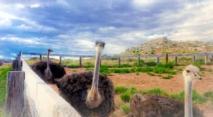 There's An Ostrich Farm In Arizona And You're Going To Love It