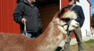 There's An Alpaca Farm In Delaware And You're Going To Love It