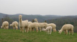There's An Alpaca Farm In West Virginia And You're Going To Love It